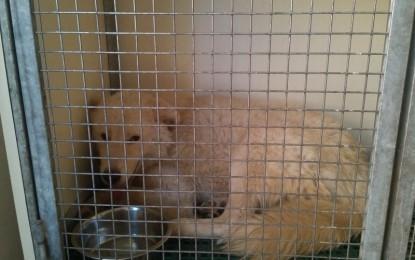 Torturato e con un cappio al collo, un cane viene salvato in extremis a Guagnano. Le sue condizioni sono in miglioramento