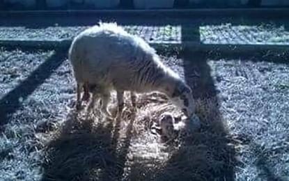 Lieto evento al Presepe di Salice. Due agnellini sono venuti al mondo