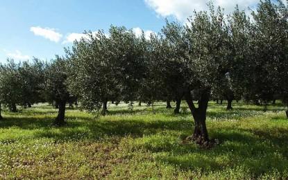 Xylella Fastidiosa, il Comitato Ambiente Sano di Veglie invia un comunicato alle autorità competenti