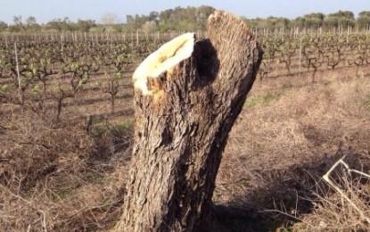 Alberi di ulivo danneggiati nelle campagne di Guagnano