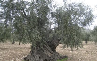 Xylella, un picnic tra gli ulivi dei terreni vegliesi per sensibilizzare la cittadinanza