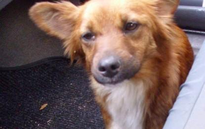 Trovata una cagnolina a Salice. Qualcuno la riconosce?