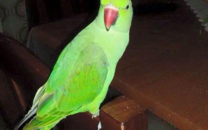Smarrito un pappagallo a Salice. C'è una ricompensa per chi lo ritroverà