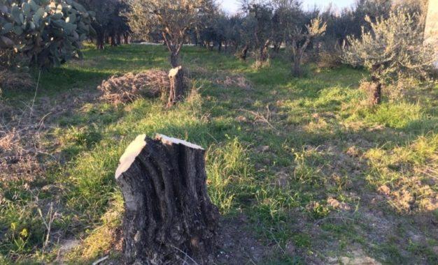 Sette alberi di ulivo trafugati a Guagnano in Contrada Antonio Sales. I proprietari: «Siamo mortificati»